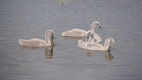 Young swans sail over the lake and hunt in the water stock footage