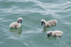Young swans Royalty Free Stock Images