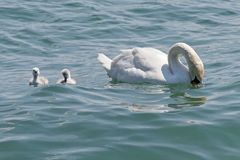 Young swans Royalty Free Stock Image