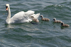 Young swans Stock Photo