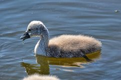 Young swans Royalty Free Stock Photos