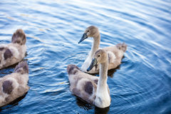 Young swans swimming in a pond Royalty Free Stock Photos