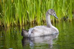 Young swans are swimming together in the Hancza River, Poland. Stock Photography