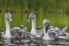 Young swans are swimming together in the Hancza River, Poland. Stock Images