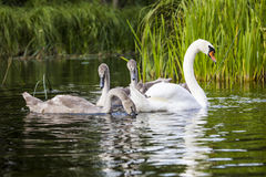 Young swans are swimming together in the Hancza River, Poland. Stock Photo