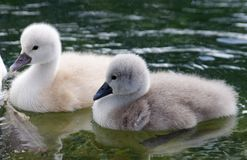 Young swans. With on the water Stock Images