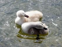 Young swans. On the water Stock Photo