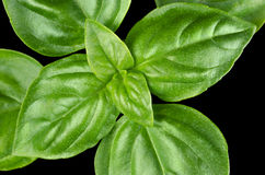 Young Sweet Basil Leaves Closeup Royalty Free Stock Image