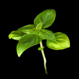 Young Sweet Basil Plant Stock Photography
