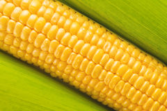 Young Sweet Corn on the Cob Royalty Free Stock Photos