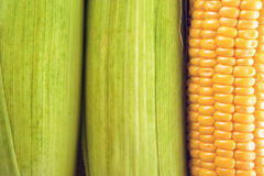 Young Sweet Corn on the Cob Royalty Free Stock Images