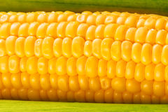 Young Sweet Corn on the Cob Royalty Free Stock Photography