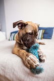 Young sweet little dog lies on the bed at home and biting a toy Stock Photography