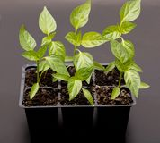 Young sweet pepper plant stock image