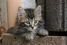A young sweet pretty Norwegian kitten stock photo