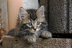 A young sweet pretty Norwegian kitten Stock Photo