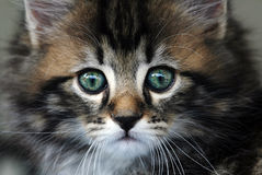 A young sweet pretty Norwegian kitten Royalty Free Stock Photo