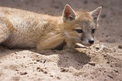 Young swift fox. Resting and looking Royalty Free Stock Photo