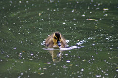 Young Swimming Duckling Royalty Free Stock Photo