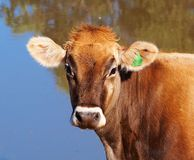 Young Swiss Brown Dairy Cow Royalty Free Stock Photo