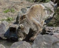 Young syrian brown bear 1 Stock Photos