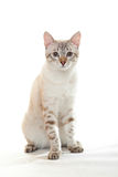 Young tabby. Royalty Free Stock Images