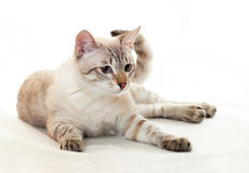 Young tabby. Royalty Free Stock Photo