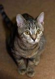 Young tabby cat Stock Photos