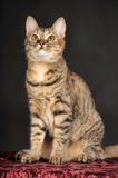 Young tabby cat Royalty Free Stock Photography