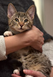 Young tabby cat Royalty Free Stock Photos