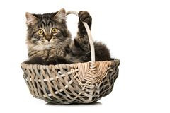 Young cat lying in a basket stock photography