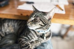 Young tabby cat lying on lap. Point of view Royalty Free Stock Images