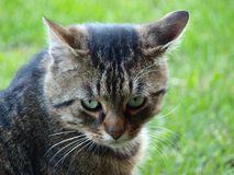 Young tabby cat. Northern Bohemia royalty free stock image