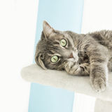 Young tabby cat playing on a cat tree. Young tabby cat playing on a cat  tree Royalty Free Stock Photos