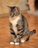 Young tabby cat Stock Images