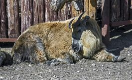Young takin 1. Young takin, Latin name - Budorcas taxicolor Royalty Free Stock Image