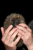 The young tame hedgehog is in hand Stock Image