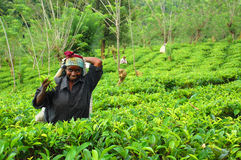 Young Tamil Girl At The Tea Plantation. Young Tamil girl is working at the tea plantation in Sri Lanka near the town of Kandy Stock Photo