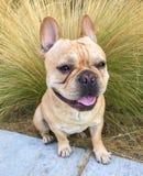 Young Tan French Bulldog Portrait. Stock Photo