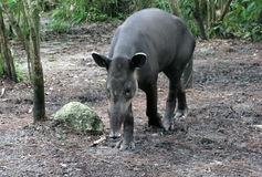 Young Tapir. Came closer from a jungle. Animal watching. Belize royalty free stock image