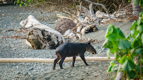 Young tapir entering the forest in Corcovado, Cosa Rica Stock Images