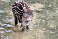 Young tapir Royalty Free Stock Image