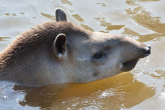 Young Tapir swimming Stock Image