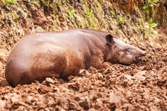 Tapir making the siesta, amazonian rain forest Stock Image