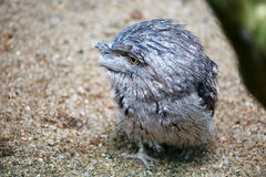 Young Tawny Frogmouth Bird Royalty Free Stock Image