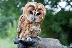 Young Tawny Owl Royalty Free Stock Images