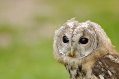 Young Tawny Owl or Brown Owl. (Strix aluco royalty free stock images