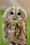 Young  Tawny Owl or Brown Owl Stock Images
