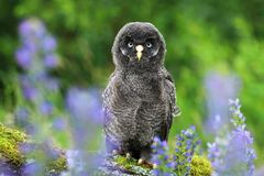 Young tawny owl in flowers. Young tawny owl Strix nebulosa royalty free stock photo
