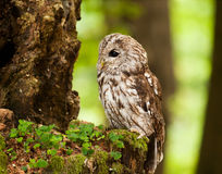 Young tawny owl in forest - Strix aluco. Portrait of young brown owl in forest - Strix aluco stock photo